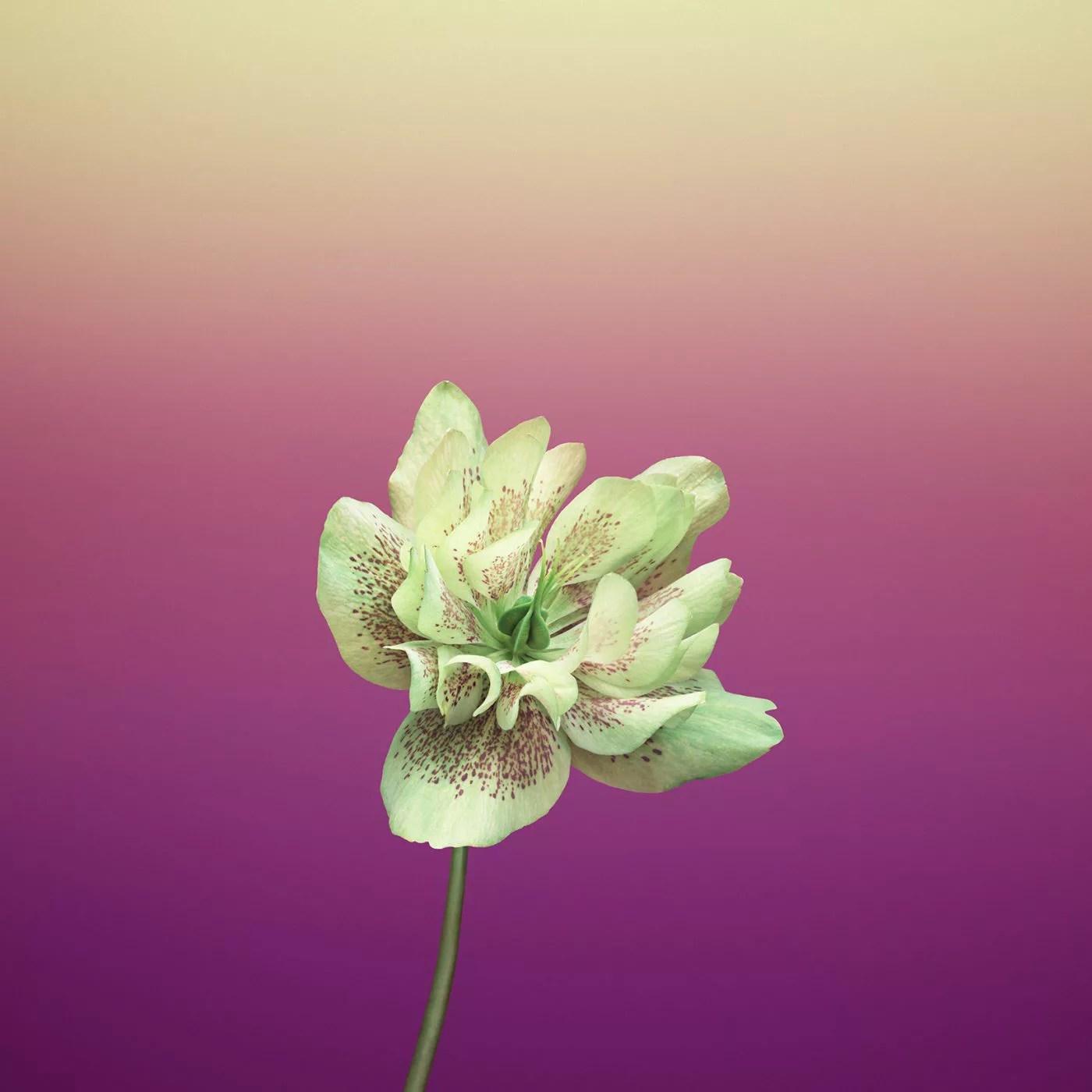 ios_11_gm_wallpaper_flower_helleborus.jpg