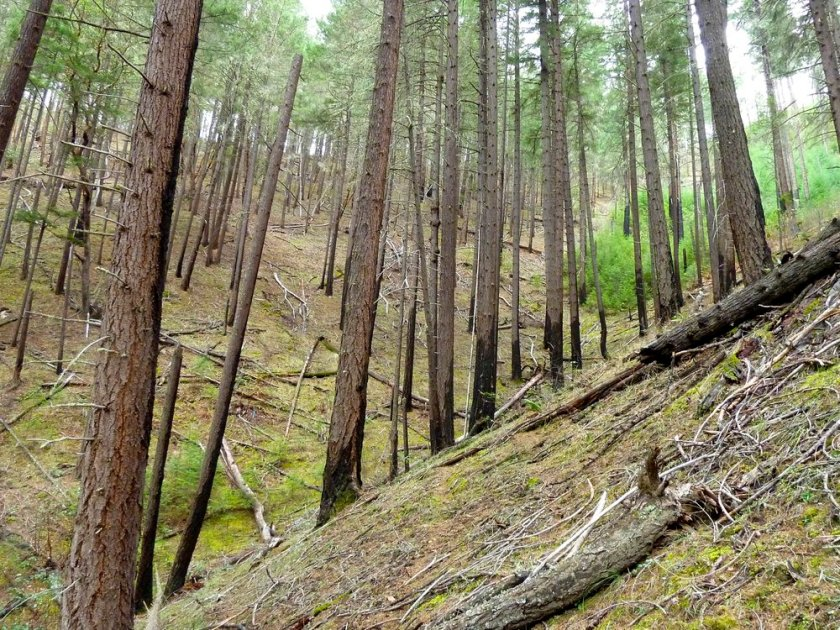 Unit 28-22 of the Nedsbar Timber Sale was canceled due to the work of ANN and the SIskiyou Crest Blog. The unit is located near the confluence of Yale Creek and the Little Applegate River and is one of the Little Applegate area's most intact, fire adapted stands.
