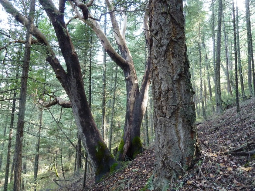 Forest on the western face of Boaz Mountain in unit 33-30 of the Nedsbar Timber Sale.