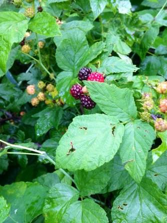 Berries ripening