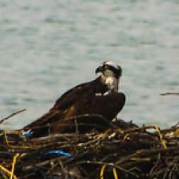Nesting osprey bird