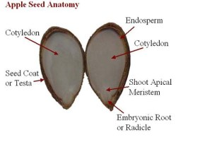 Apple Seed Anatomy