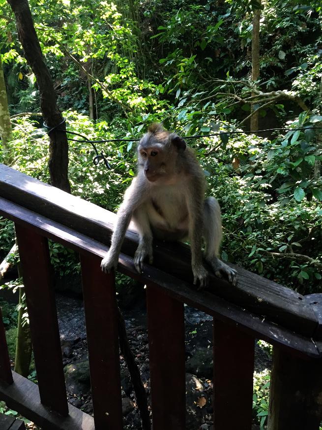 bali ubud monkey forest monkey flirting