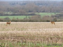 Roe deer with view