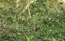 Male and female Bullfinch