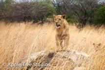 Apple Tree Studios Lions03