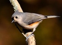 tufted titmouse new jersey