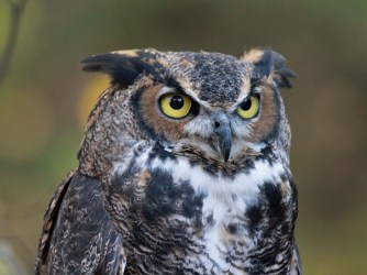 Great-horned_Owl_RWD_at_CRC1