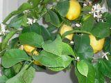 LemonBlossoms.jpg