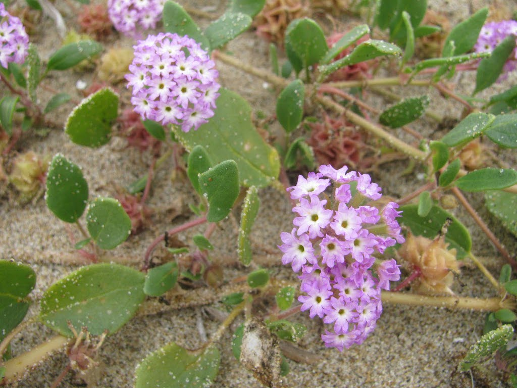 Pink Sand Verbena Monitoring On The Oregon Coast Institute For