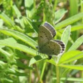 A female Fender's blue butterfly laying eggs on the underside of the leaves of Kincaid's lupine