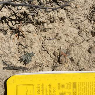 The majority of individual plants we found measured less than 5 cm in diameter.