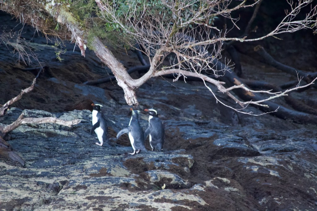Penguins Doubtful Sound