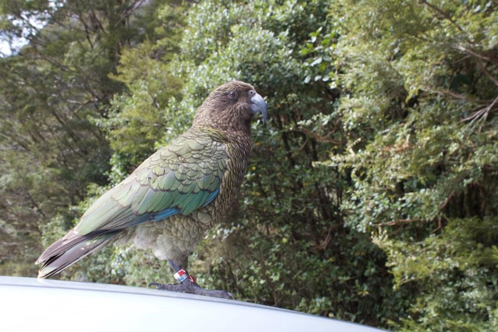 Kea New Zealand