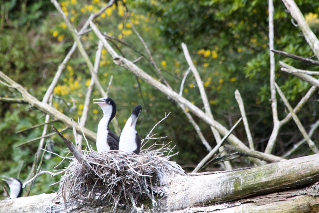 Pied Shag Nest Zeelandia