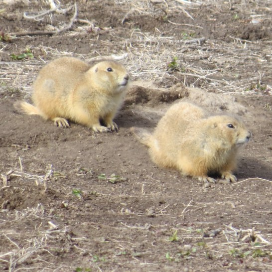 Prairie dogs off the side of the road.