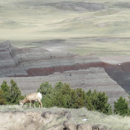 Bighorn sheep grazing.