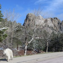 Mount Rushmore and goat