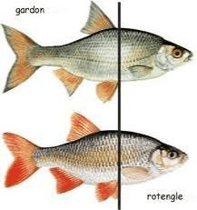 Gardon et rotengle