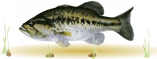 Micropterus salmoides.