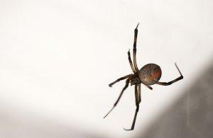Araignée à dos rouge
