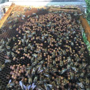 cadre de ruche bourdonneuse