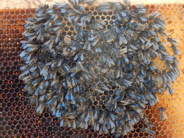 ruche morte de faim