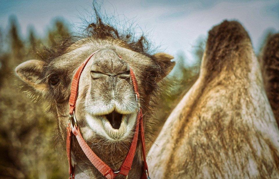 """les poils de """"chameau"""" ne proviennent pas du chameau"""