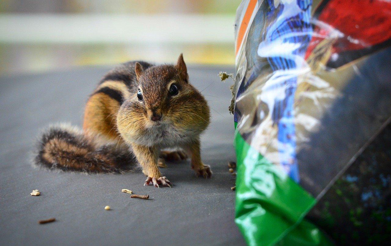 chipmunk, mammal, rodent