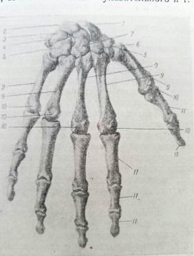 dessiner les mains. anatomie 2