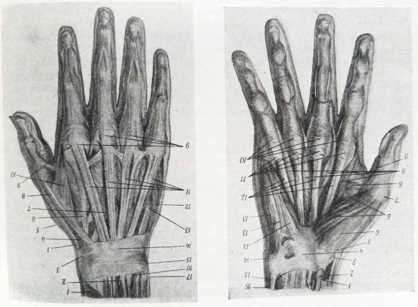 dessiner les mains. anatomie 1