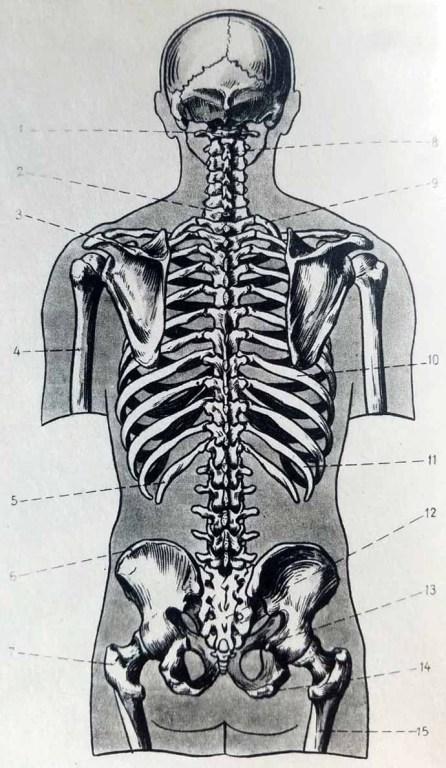 Anatomie artistique. Squelette du torse de dos. Os du squelette du torse humain.