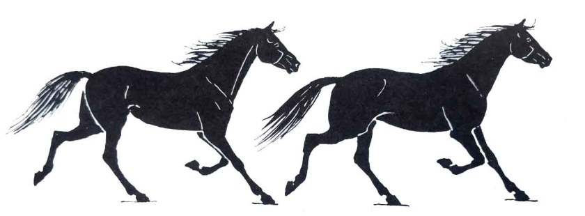 Les allure du cheval. L'amble.