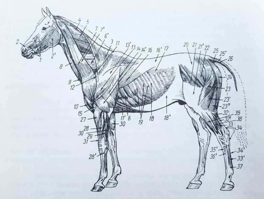 muscles du cheval