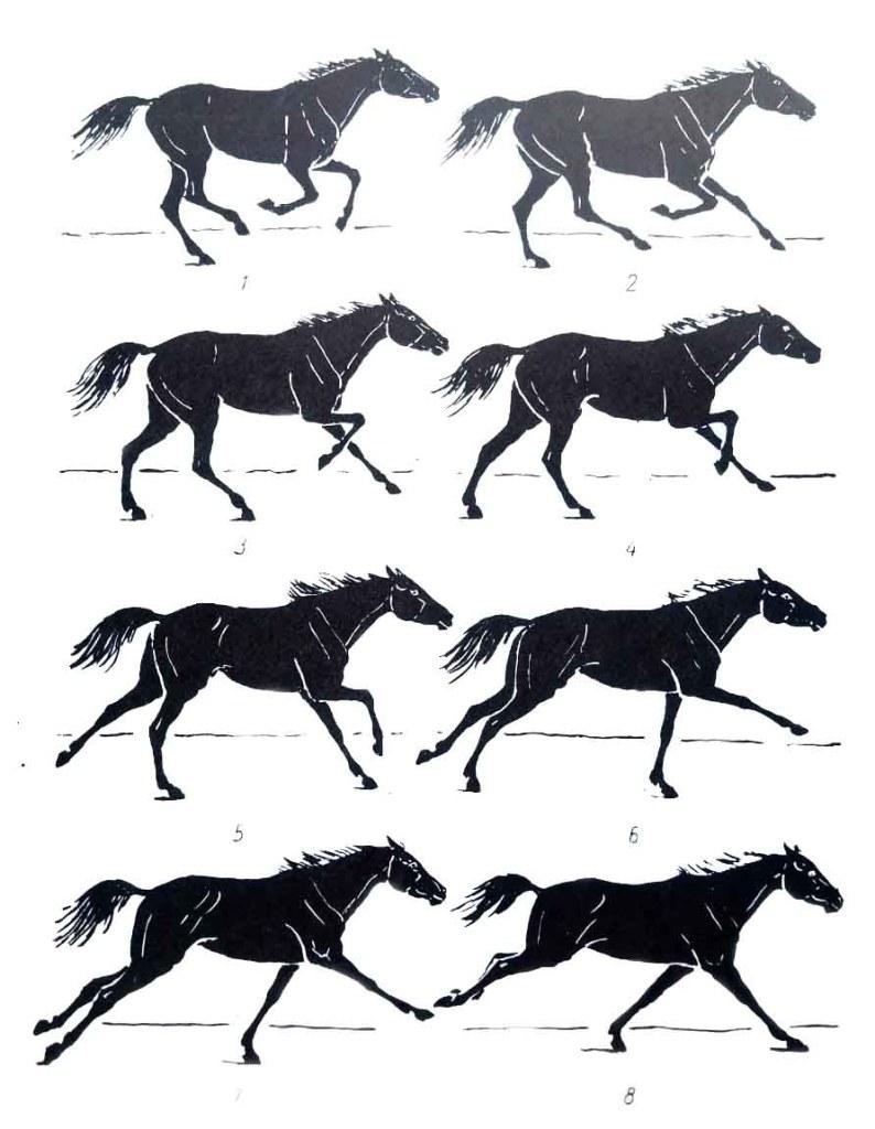Les allures du cheval. Le galop