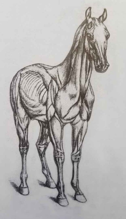 Les muscles du cheval. Comment dessiner un cheval