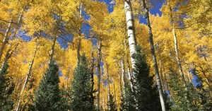 Yellow aspen trees in fall