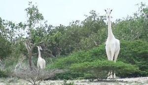 Weiße Giraffen