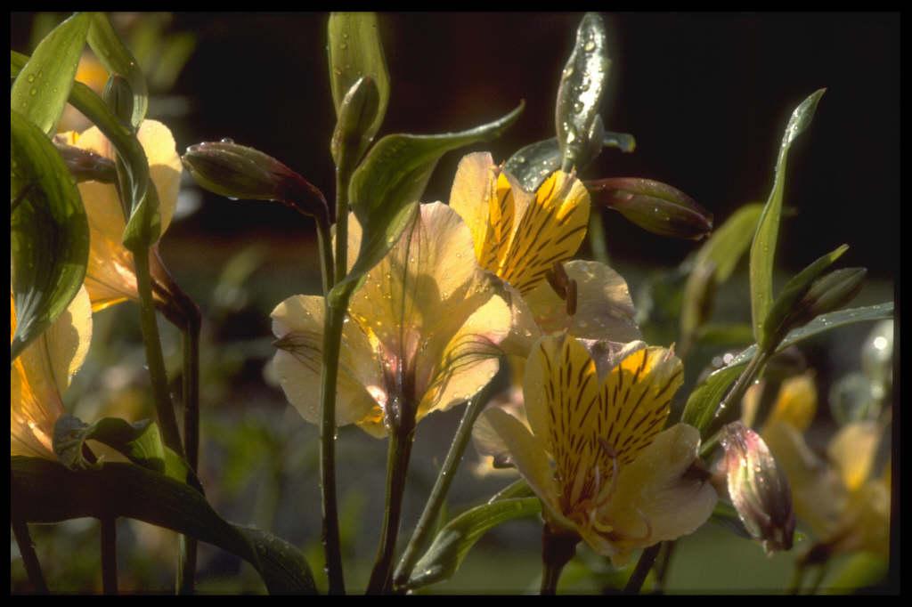 Alstroemeria Yellow Friendship Peruvian Lily Yellow