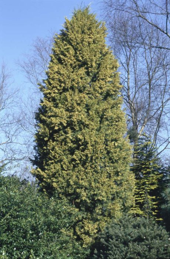 Juniperus Chinensis Aurea Golden Chinese JuniperRHS Gardening