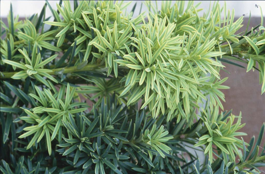 Taxus Baccata Fastigiata Aureomarginata Mv Golden Irish YewRHS Gardening
