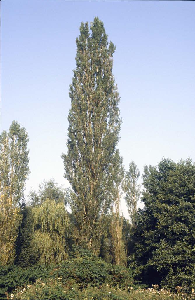 Populus Nigra Italica M Lombardy PoplarRHS Gardening