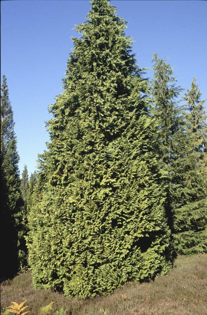 Chamaecyparis Lawsoniana Stardust Lawsons Cypress