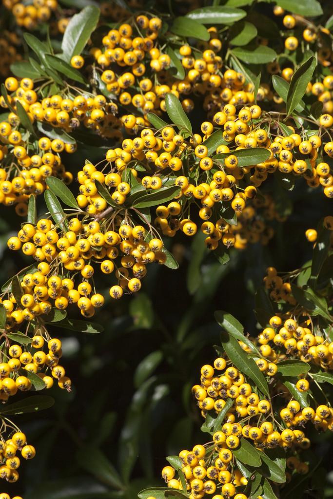 Pyracantha Rogersiana Flava Yellow Asian Firethorn Rhs