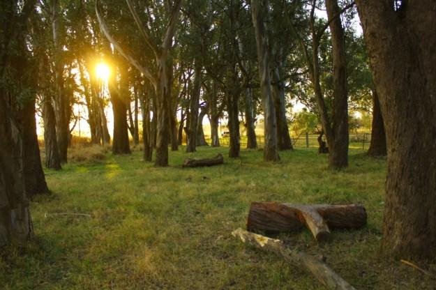 Eucaliptos Parque Francisco Tau