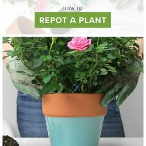 how to repot a plant // aprettyfix.com
