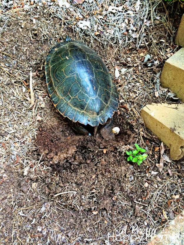 Turtle laying eggs in Georgia