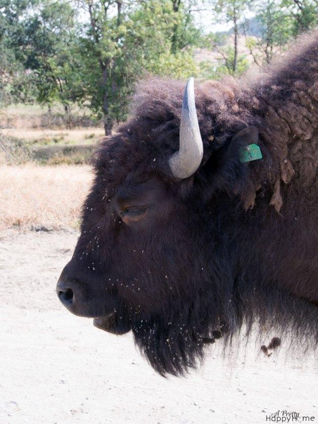 bison_original
