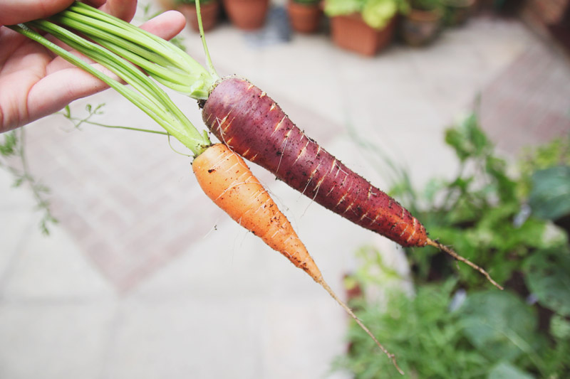Raised Vegetable Garden Carrots: Nantes & Purple Haze