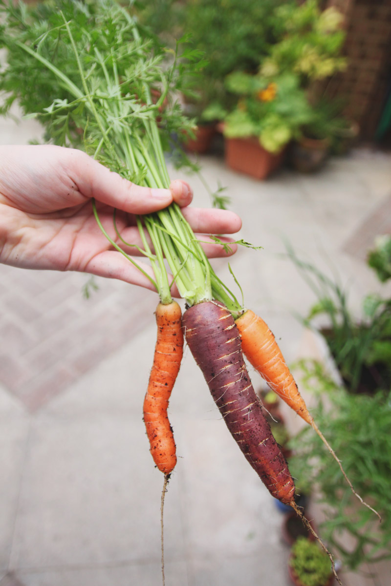 Raised Vegetable Garden Carrots: Amesterdam 2, Purple Haze and Nantes
